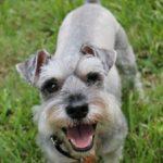 ミニチュアシュナウザー犬、トイレのしつけ方法と回数・大きさについて